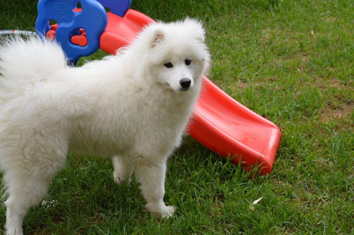 The Samoyed - awesome dog, but is it the right one for you?